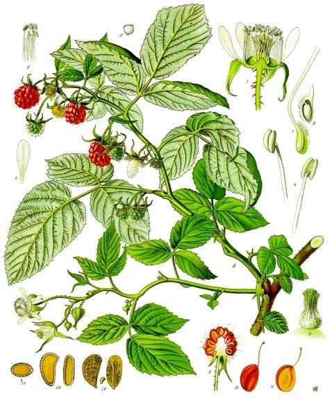 Rubus_idaeus_-_Köhler–s_Medizinal-Pflanzen-124